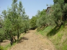 casali-toscana-sansepolcro-olivi