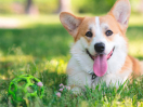 Corgi dog lying on the lawn with a ball during the day,Corgi dog lying on the lawn with a ball during the day